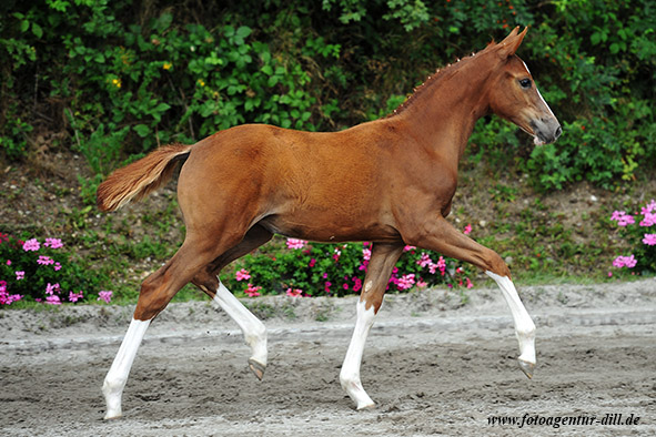 Dollar Girl *2012 von Dollar d'Or SB x Asti Spumante